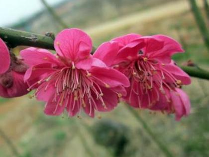 홍매화꽃이 너무 아름 답습니다