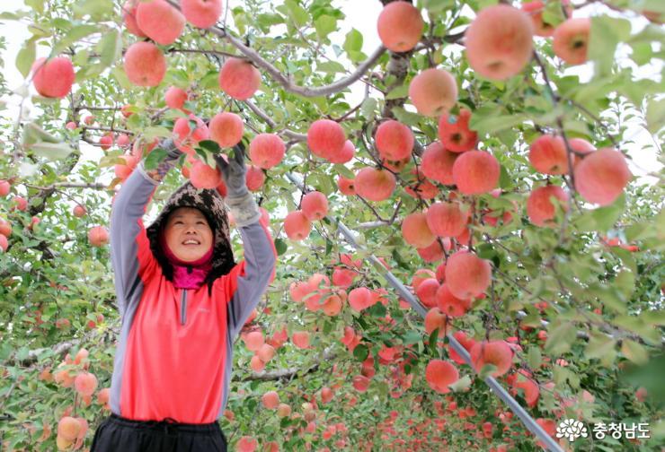 사과 수확중인 김금영 대표