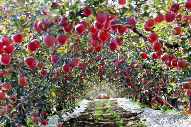 아름다운 사과나무 터널 사진