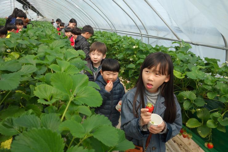 청년 농업인이 일구는 다온딸기 체험농장 18