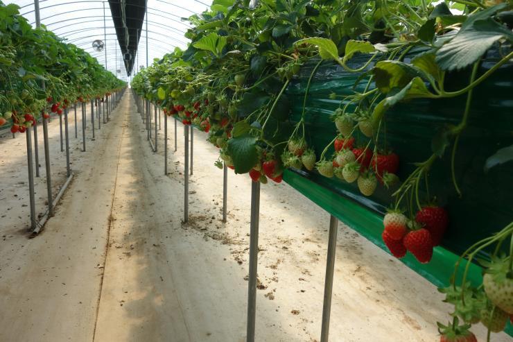 청년 농업인이 일구는 다온딸기 체험농장 2