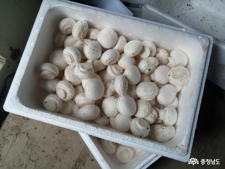 보령 '만세 버섯산업특구' 지정을 반기며 1