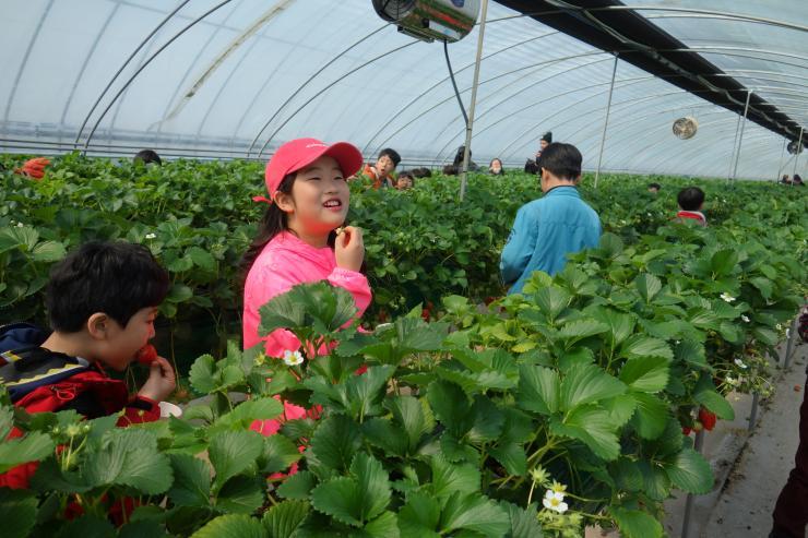 청년 농업인이 일구는 다온딸기 체험농장 12