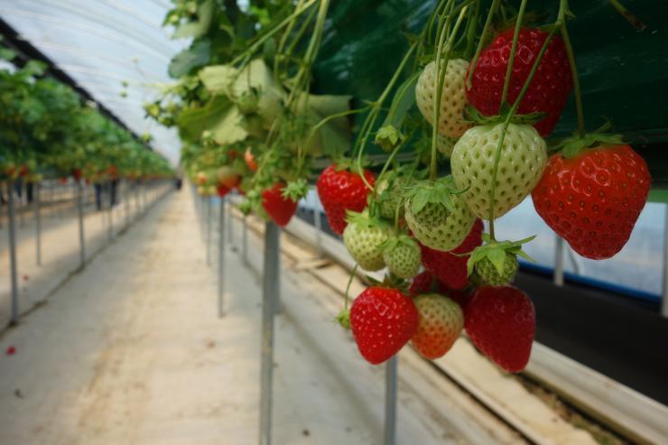 청년 농업인이 일구는 다온딸기 체험농장 13