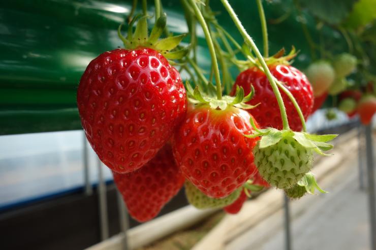 청년 농업인이 일구는 다온딸기 체험농장 3