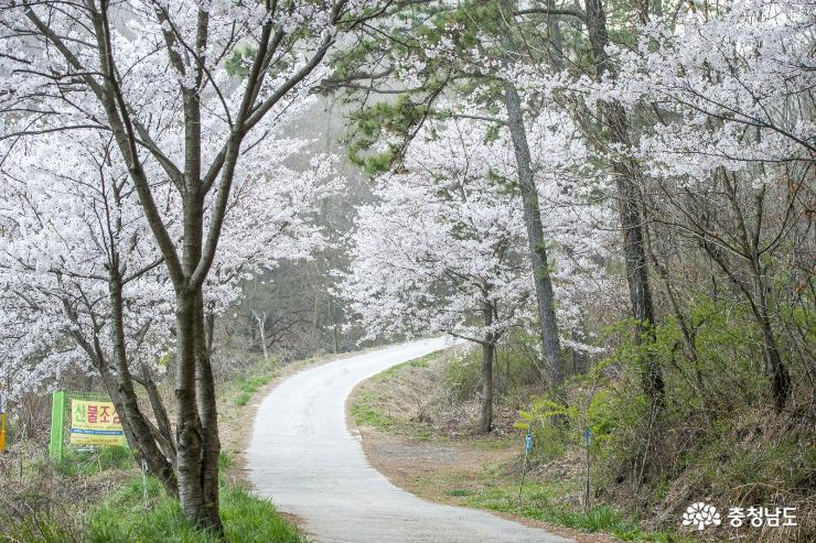 홍성 백월산 자락 그림같은 봄꽃 풍경 사진