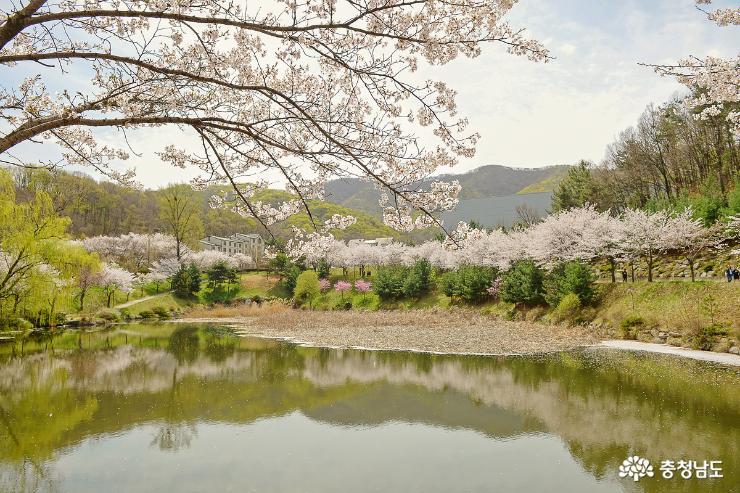 동화속 인듯… 호서대학교 벚꽃풍경