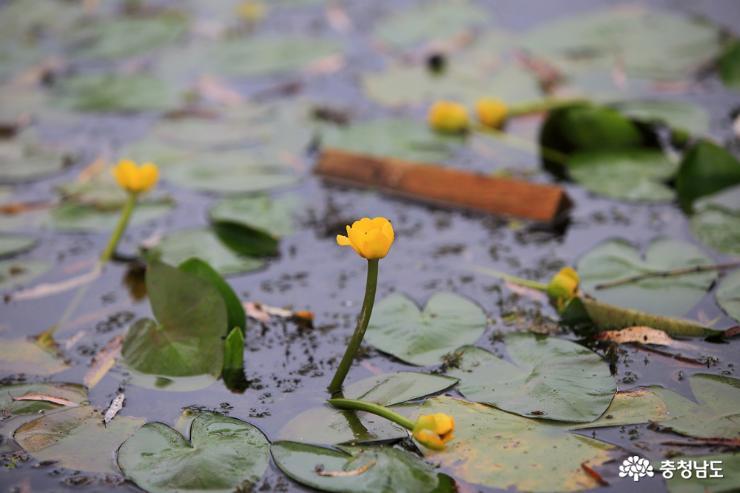 궁남지 연꽃사이로 호젓한 산책