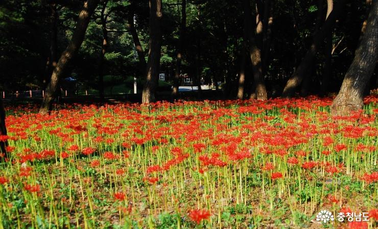 꽃무릇 핀 성주산자연휴양림