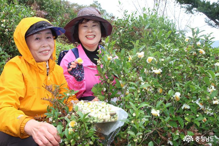 녹차꽃 수확 후 즐기는 차맛은 일품