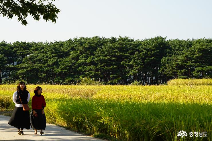 파란 하늘과 황금들녘이 어우러진 충남 아산시 외암민속마을의 가을풍경이 장관이다.