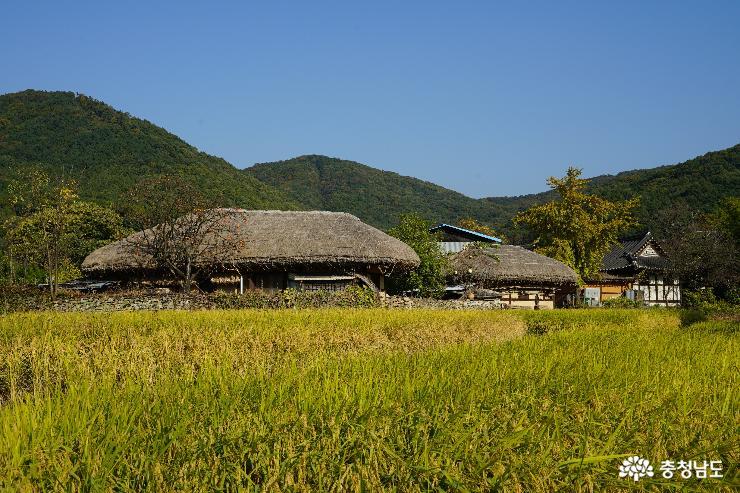 황금들녘과 어우러진 초가지붕이 한 폭의 그림처럼 아름답다.
