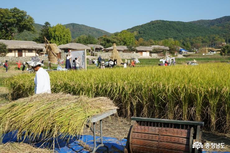 외암민속마을 입구에서는 여행객들이 손으로 직접 벼를 수확해 타작하는 체험을 할 수 있다.