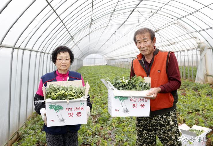 미세먼지 '특효약' 태안 방풍나물 출하