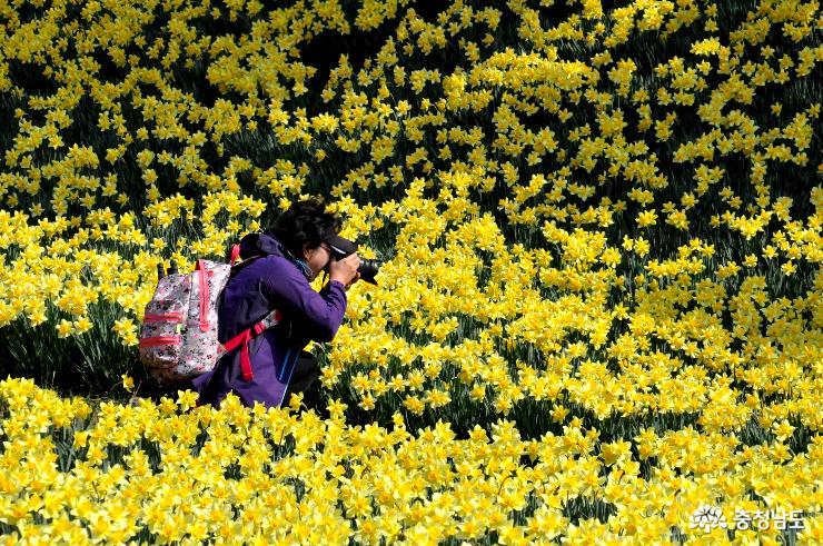 봄을 노랗게 수놓는 수선화