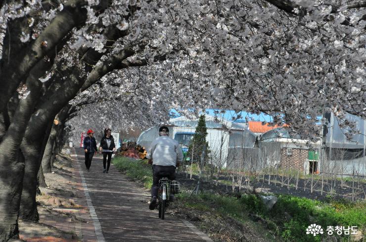 예산 외곽도로의 봄을 담은 벚꽃