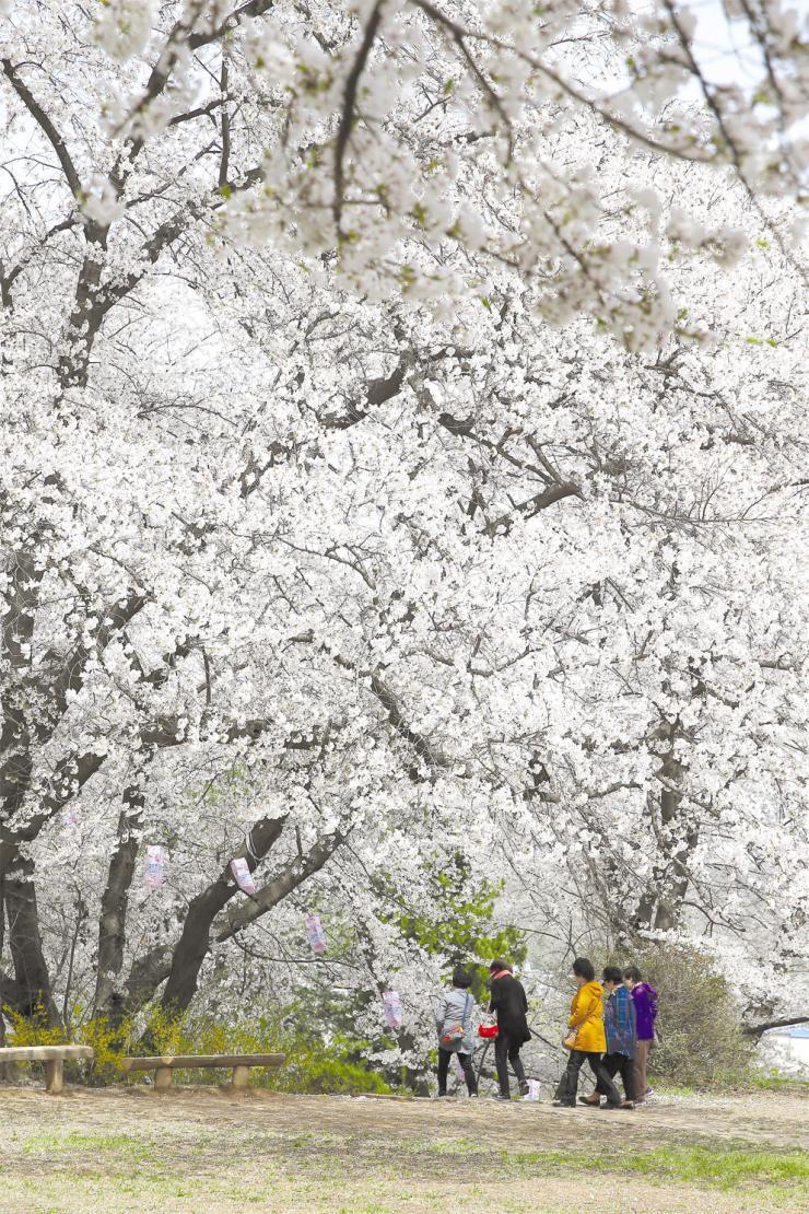짧아서 아쉬운 봄…벚꽃 절정
