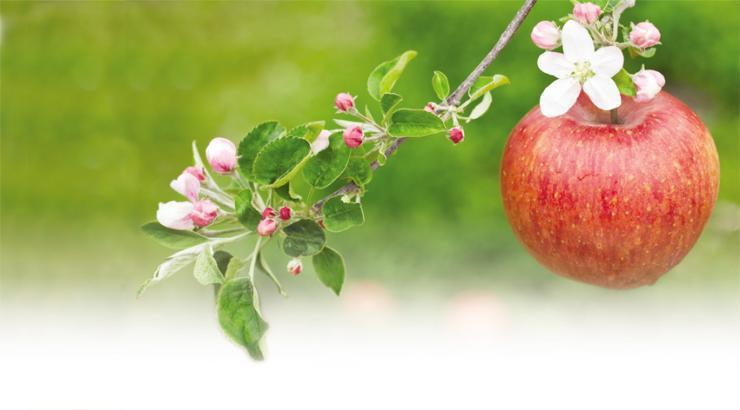 기다림이 빚은 황금빛 방울 널 마시면 입안에 사과꽃이 핀다 1
