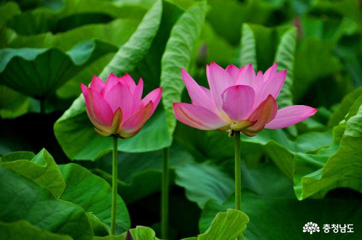 충남에서 8월에도 연꽃을 볼 수 있는 곳
