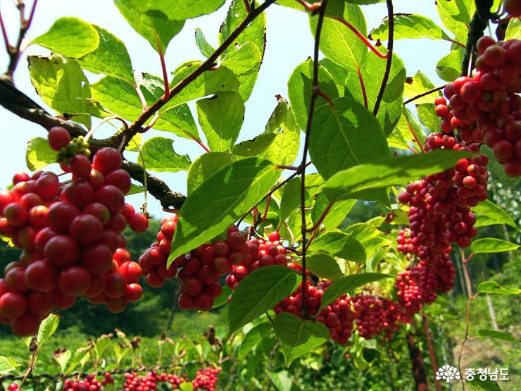 하늘이 내린 가을의 붉은 보석, 오미자