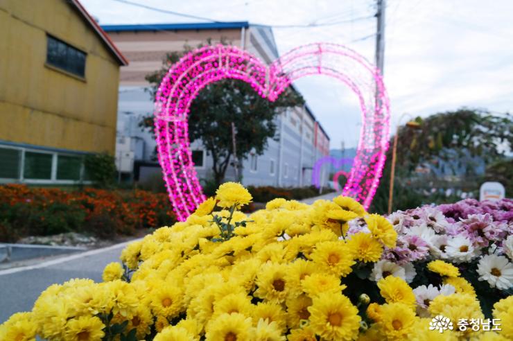 연산 축제장 국화꽃과 조명