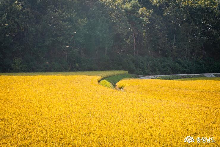 벼수확으로 분주한 황금들판 2