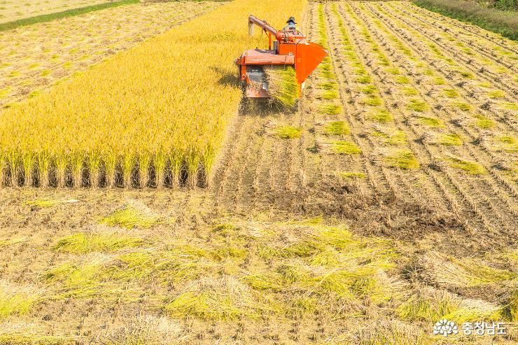 벼수확으로 분주한 황금들판 7
