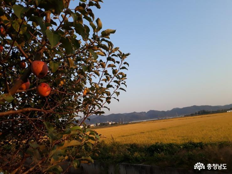 가을이 한창인 충남의 농촌 2