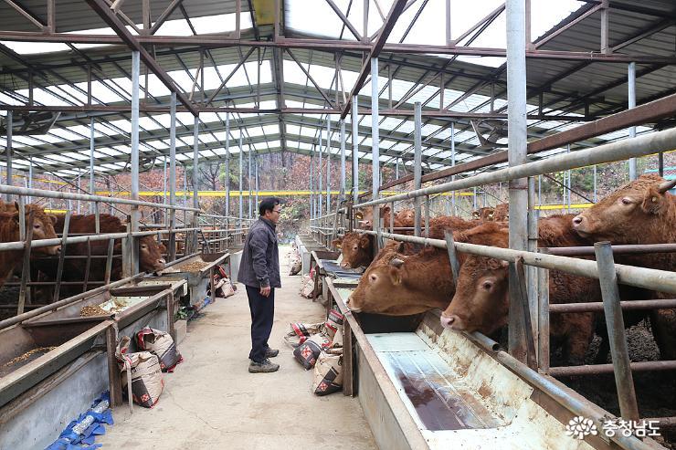 한우농장 대표가 소들을 둘러보고 있다.