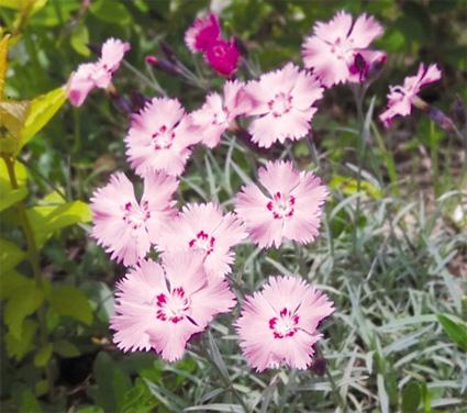 백제의 미소 패랭이꽃