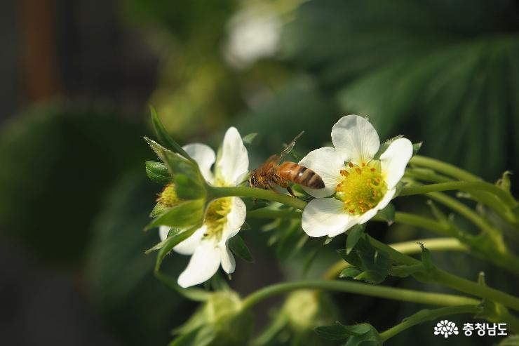 소박하게 예쁜 딸기꽃과 꿀벌