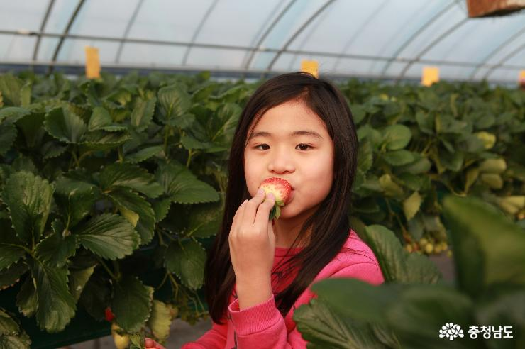 맛있는 논산 딸기를 한 입
