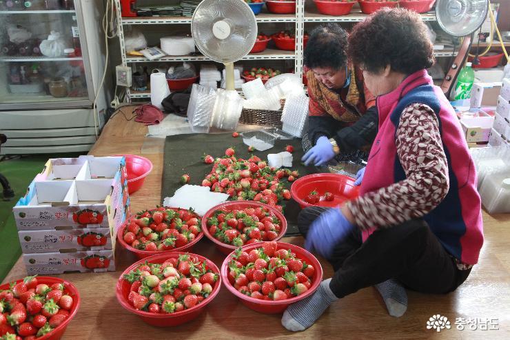 딸기 선별 및 포장 작업