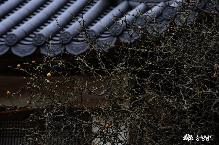 기와 무늬와 탱자나무의 어울림