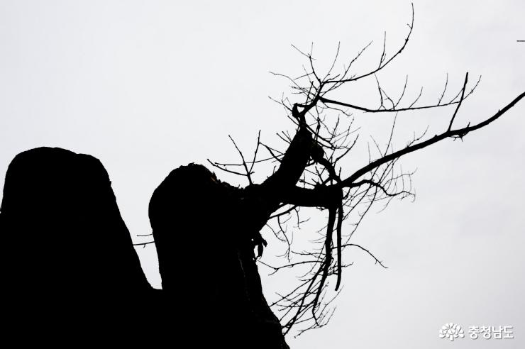 약 300년 가량된 소태나무
