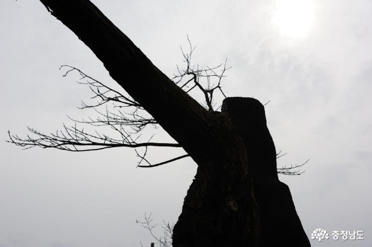 고목으로 서 있는 소태나무