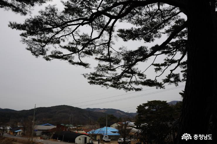 아름드리 소나무와 기덕리 마을