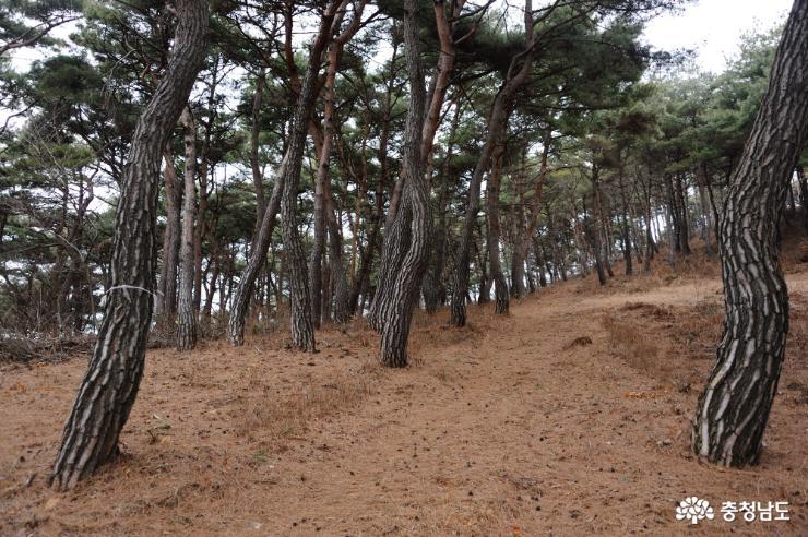 소나무로 가꾸어진 전통 숲길