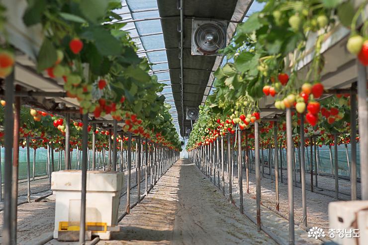 달콤한 향기가 가득한 논산 딸기 농장 2