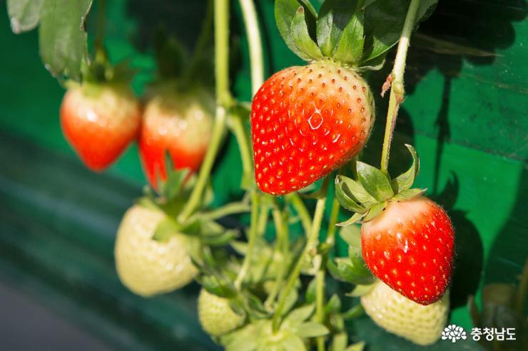 달콤한 향기가 가득한 논산 딸기 농장 4