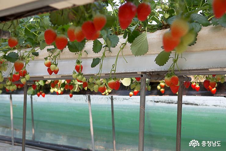 달콤한 향기가 가득한 논산 딸기 농장 6