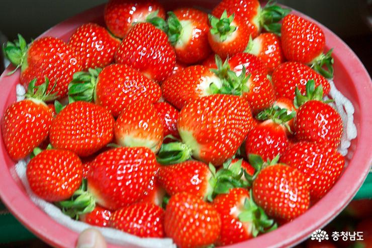 달콤한 향기가 가득한 논산 딸기 농장 7