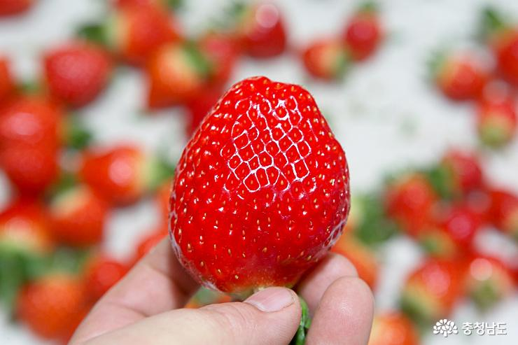 달콤한 향기가 가득한 논산 딸기 농장 8