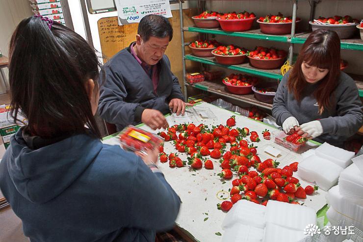 달콤한 향기가 가득한 논산 딸기 농장 11