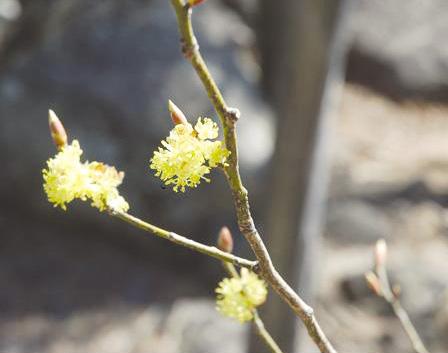 봄 시샘할 적 생강나무 꽃 피었네