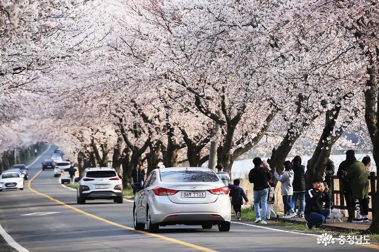 [포토] 보령 주산 벚꽃길 만개