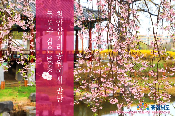 천안삼거리공원에서 만난 폭포수 같은 벚꽃