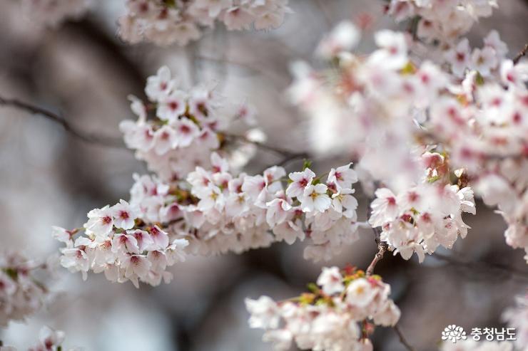 벚꽃엔딩은 천안의 캠퍼스에서