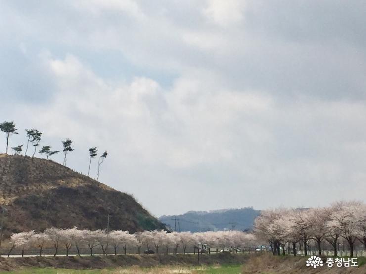 새로운 벚꽃길 명소 광천천변