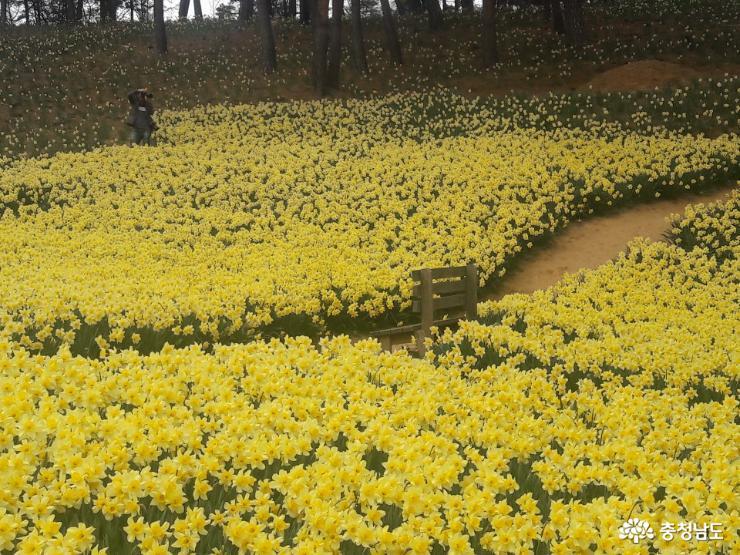 봄날 노란 꽃의 대향연